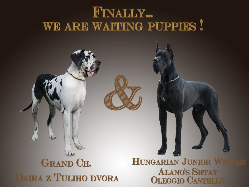 Our Daira z Tuliho dvora and Alano's Shtat Oleggio Castello are waiting puppies! (around 5th February 2015)